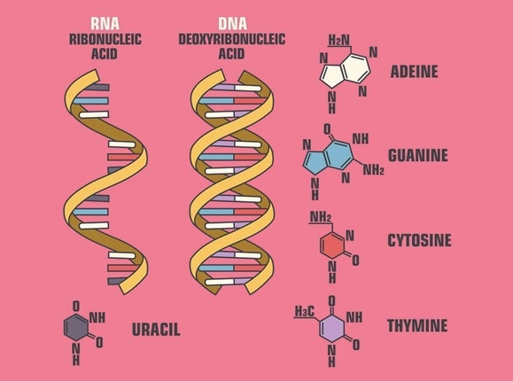 PrudentBiotech.com ~ RNA and DNA ~ Shutterstock